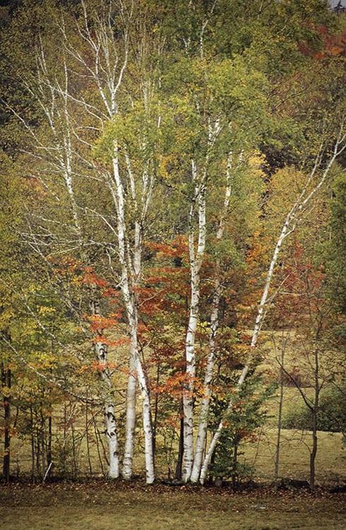 Birch Mirage