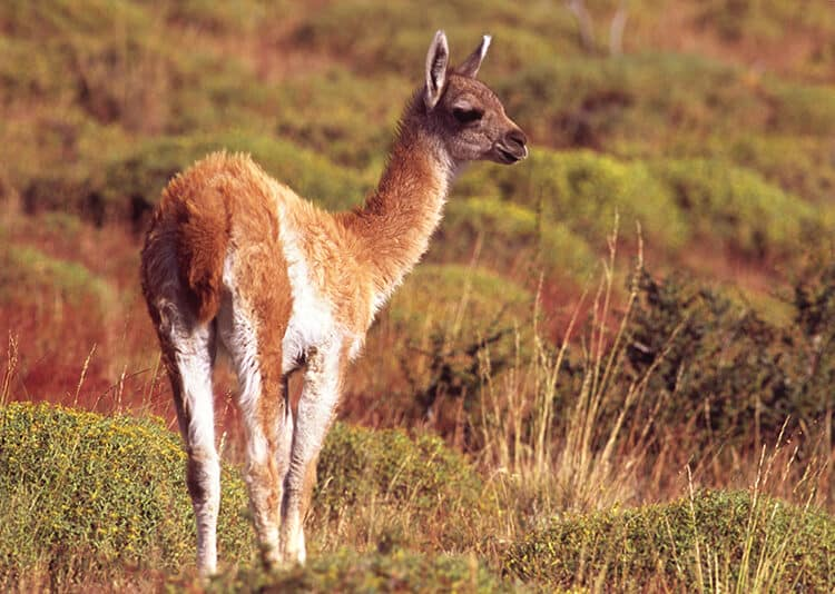 Guanaco Speaks