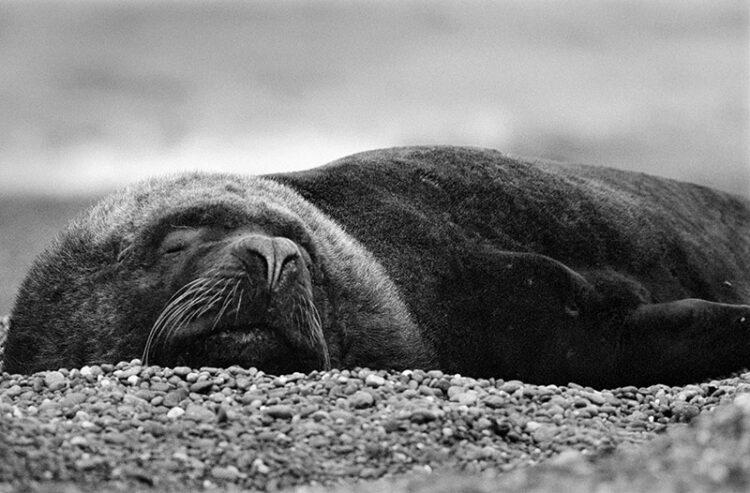 Animal photography: sea lion