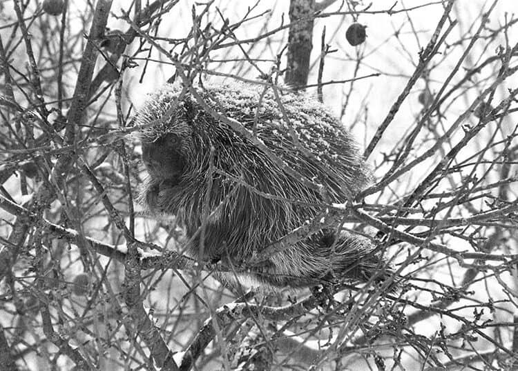 Resident Porcupine